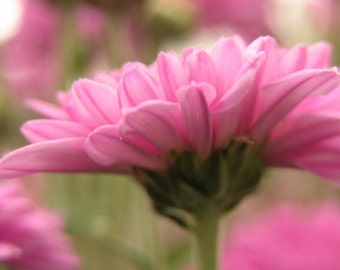 Flower In Soft Pink