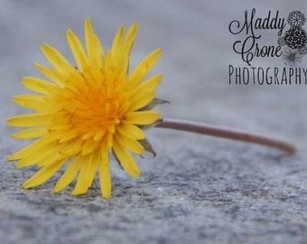 Dandelion Photograph,  4 x 6 Photograph