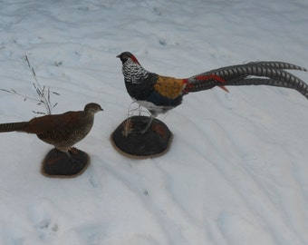Lady Amherst pheasants beautiful par real taxidermy