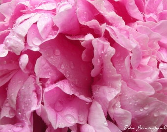 Pink Peony Flower Fine Art Nature Photography Print