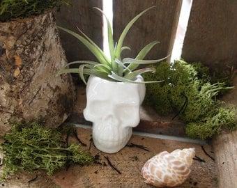 White Ceramic Skull Planter with air plant; air planter ; Home Decor ; Desktop Ornament