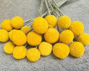 Craspedia 20 Stems, Billy Balls, Drumstick, Dried Flower, Yellow Flower, New 2016 Crop, Beautiful Bight Yellow Color
