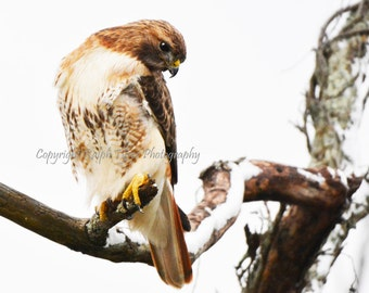 Red Tailed Hawk  #7642