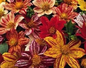 20+ Fireworks Mix Dahlia / Hearty Annual Flower Seeds