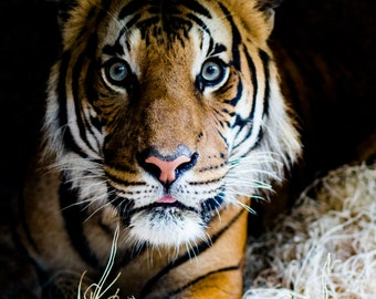 Tiger canvas limited edition