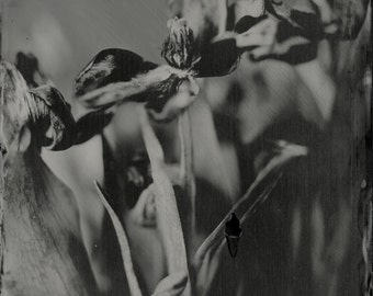 Dark Tulips 5x7 Wet Plate Tintype