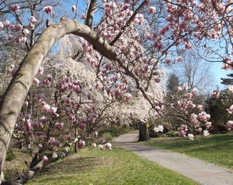 Magnolia and Cherry Tree Blossoms