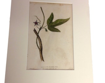 Dr. Thornton Botanical Print - Species 6 - The Cork Passion Flower - Matted Print- September 1st, 1810