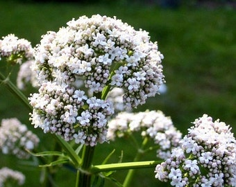 1 Live Valerian Plant - (Valeriana officinalis) -- Bitcoin accepted!