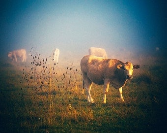 Cow Photography, Foggy Morning, Rural photography, Fog, Cattle, Livestock, Texas Photography, Fall landscape, pasture, warm color, animals