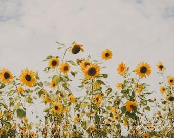 Fine Art Photograph, Sunflowers, Botanical Print, Farm, Summer, Garden, Sunflower Art, Field, Golden, Yellow, Flower Photo, 8x12 Print