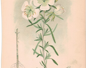 Antique Botanical  White Evening Primrose    Weeds of Canada by Norman Criddle
