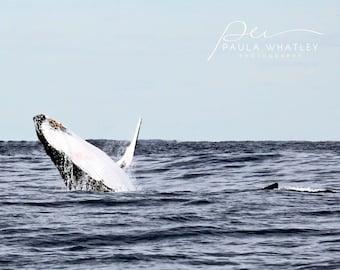 Breaching whale photo, whale photograph, humpback whale photo, ocean art, breaching whale print, whale decor, breaching humpback whale
