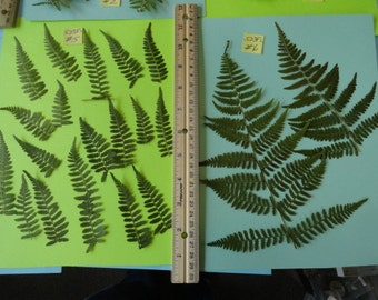 Choose your Real Fern Grown in Alaska Pressed, Preserved, Dried 523 FL