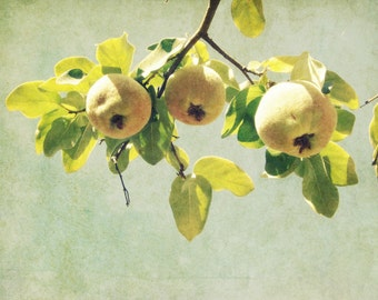 Botanical photography print yellow green quince fruit tree farmhouse decor dining room wall art - Three Golden Quince