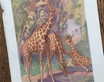 Giraffe African Safari Animal Antique Frame Worthy Original Illustrated Book Plate