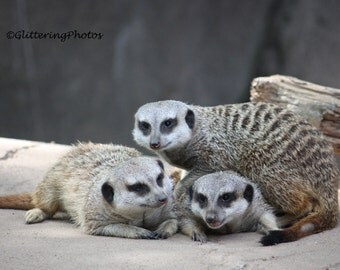 Meerkat, Wildlife, Africa, Louisville Zoo, Louisville, Kentucky, Fine Art, Photograph, Print, 8 x 10, Glossy