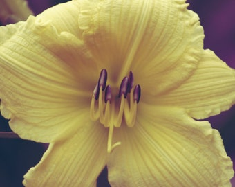 "Flower Photography, Still Life, Nature, Garden, Lily, Soft Yellow, Bold, Macro, 8x10. ""Lionhearted""."