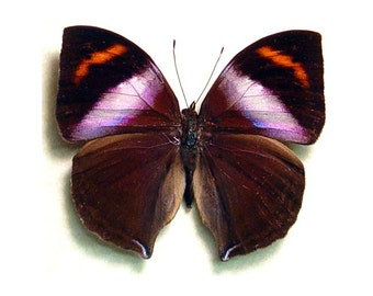 Real Framed Kallima Rumia Male Purple Leaf Mimic Wings Butterfly 794