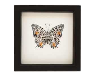 Butterfly Display Case Real Insect Taxidermy Art Baeotus