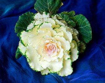 Kale Flower Photograph