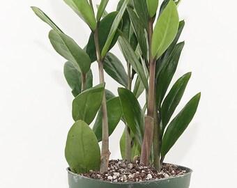 ZZ Plant - Zamioculcas Zamiifolia - Bonsai, Indoor, House - DIY Live Plant