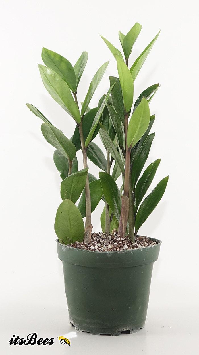 Zz plant zamioculcas zamiifolia bonsai indoor house for Plante zamioculcas