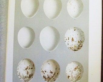 1895 Smithsonian Bird Egg Print - Antique Lithograph - Goshawks, Hawks       - 6b