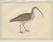 Eurasian Curlew French Game Bird, Antique Bird Print 1884, French Country Style, Country Cottage Decor, Hunting Decor, Etching Sepia/Gold 14