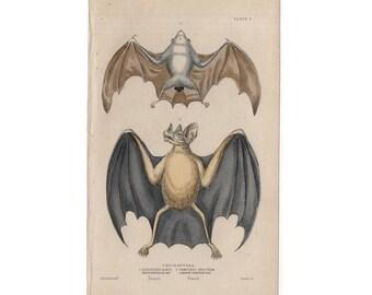 1838 ANTIQUE VAMPIRE BAT engraving -  original antique print - hand colored engraving - cheiroptera - whiteboxtailed bat by jardine lizar