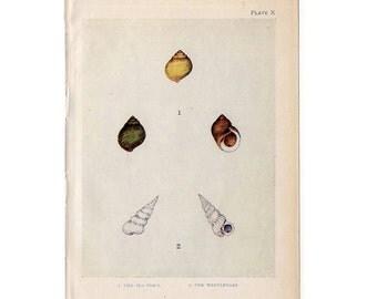 c. 1907 ANTIQUE SHELLS lithograph - original antique print - sea life marine beach ocean -