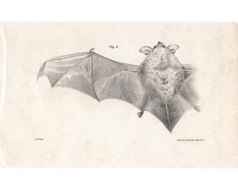 1842 LITTLE BROWN BAT print original antique chiroptera bat lithograph no. 2