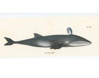1824 BALEEN WHALE print original antique ocean marine mammal print hand colored sealife lithograph - vinvisch
