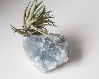 Air Plant on Geode, Celestite Crystal, Airplant Crystal Garden, Pale Blue, Living Decor, Boho Style, Exotic and Unusual, Angelic Stone