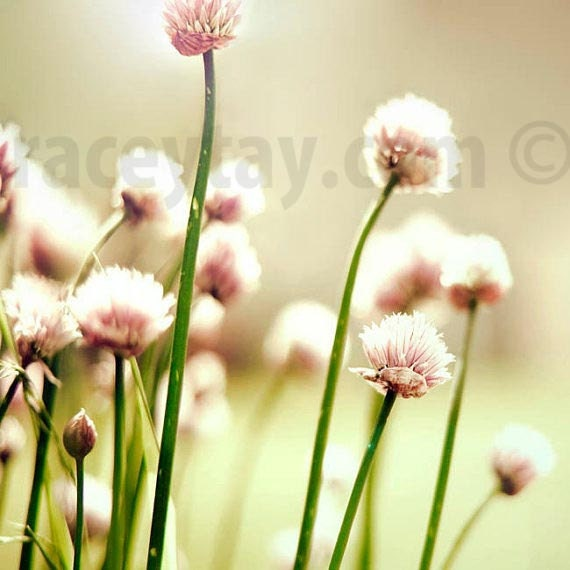 Pink Flower Photo, Pastel, Girl Nursery Decor, Green, Pink, Shabby Chic, Chives, Pastel Nursery Art Print