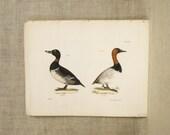 Antique Book Plate , Hand Colored , Ducks , Birds , Duck Print , Lithograph , Hand Painted , J.W. Hill , Endicott , Antiques ,Antique Prints