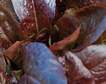 Lettuce, Rouge d'Hiver Lettuce Seeds   Heirloom French Romaine Lettuce from 1800s Excellent Flavor and Hardiness  latuca sativa