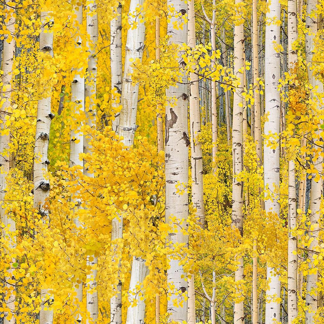 Gold Birch Landscape