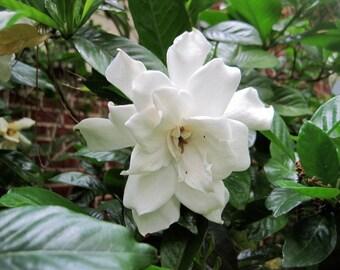 Gardenia Fragrance Oil (P, S) - 2 oz.+ Bottle