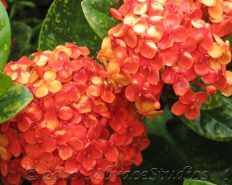 Orange Hydrangea Close-up Photography - Tropical Bush Flower - Macro photo