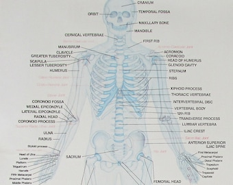 "Large 33"" X 23.5"" Chartex Skeletal System Anatomy Chart - Laminated"