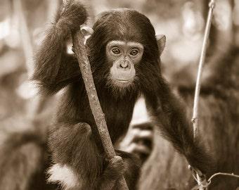 Baby Chimpanzee Photo, Baby Animal Nursery Art Print, Safari Animal Print, Animal Wall Art, Animal Nursery Decor, Baby Animal Photo, Chimp
