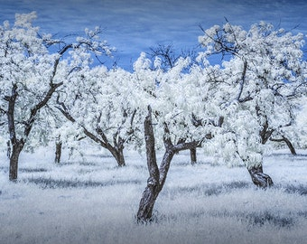 Fruit Orchard at the Cherry Point Farm Market in Infrared near Shelby Michigan No.0136 Summer Fine Art Landscape Photography