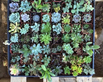 """50 Assorted potted Succulent Collection 2"""" plastic pots succulents great for wedding gifts & FAVORS+"""