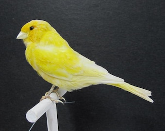 Yellow Canary Real Bird Taxidermy Mount