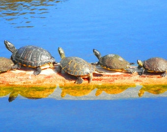 turtle photography,photography,nature photography,artwork for sale
