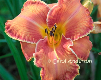 Name Your Own One Of A Kind Daylily Plant -- BC-106-- Unique gift to honor your special loved one, or special occasion. proven, guaranteed