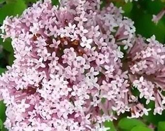 Miss Kim Lilac Bush, Lilac plant, live plant, flowering plants, more plants at, www.etsy.com/shop/ThePlantBoutique