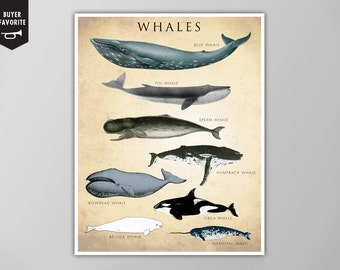 Whale Chart Art Print, Whale Species Natural History Poster, Natural History Scientific Print, Whale Chart Art Print, Whale Chart Poster
