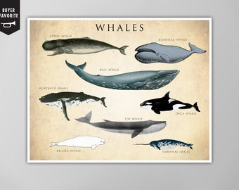 Whale Chart Art Print, Whale Species Natural History Poster, Natural History Print, Whale Species Print, Whales, Whale Chart, Whale Species
